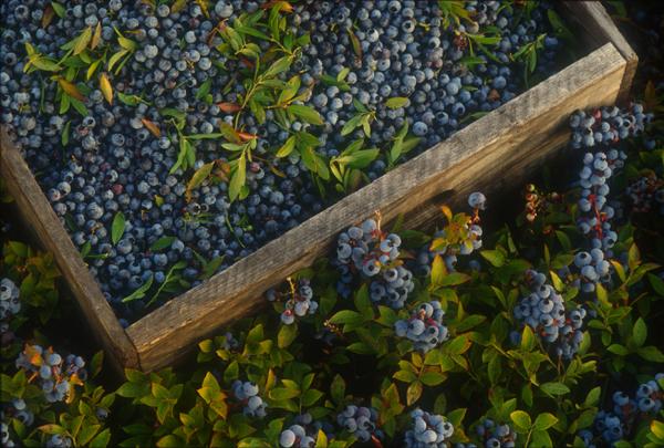 Beeren in Holz-Erntekiste